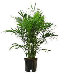 Costa Farms Cat Palm Live Indoor Floor Plant in 8.75-Inch Grower Pot